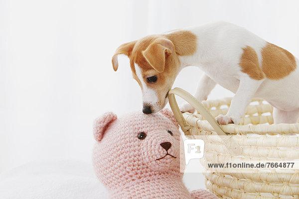 Korb  Terrier  Russell