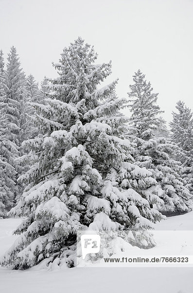 Snow-covered spruce trees (Picea abies)