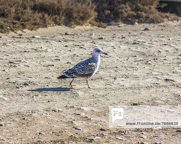 Heringsmöwe (Larus fuscus)  Jungvogel  Carrapateira  Algarve  Westküste  Portugal  Atlantik  Europa