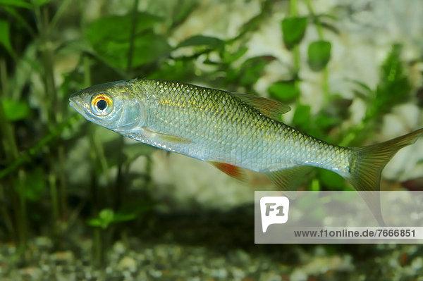 Rotauge  Schwal oder Plötze (Rutilus rutilus)  Süßwasserfisch  Vorkommen in Europa  captive