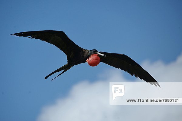 Magnificent Frigatebird(Fregata magnificens)  male flying
