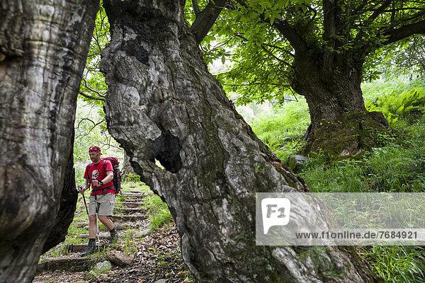 Ein Mann beim Wandern im Wald  auf der Mulattiera Parcheggio  Valle Maggia  Tessin  Schweiz  Europa Ein Mann beim Wandern im Wald, auf der Mulattiera Parcheggio, Valle Maggia, Tessin, Schweiz, Europa