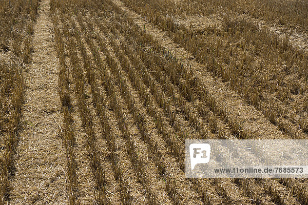Partially harvested wheat field  cornfield  stubble field