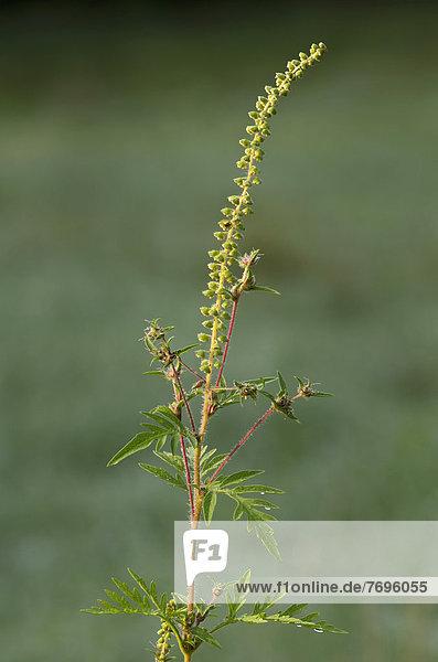 Aufrechtes Traubenkraut  Wermutblättrige Ambrosie (Ambrosia artemisiifolia)