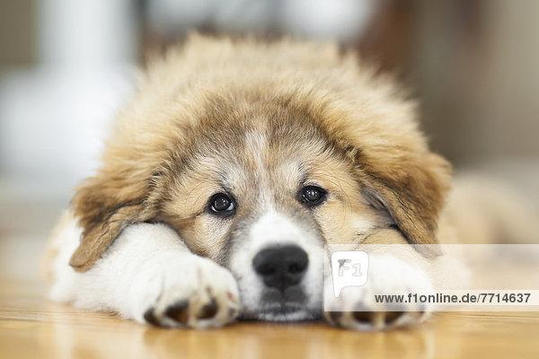 Great Pyrenees Puppy Lying Down  Winnipeg Manitoba Canada