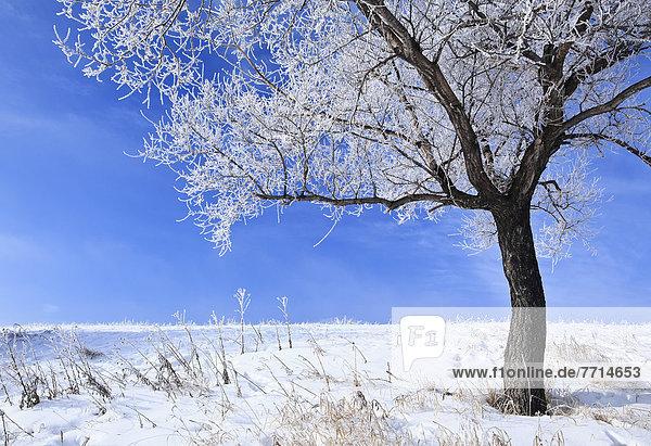 Hoarfrost On Tree  Winnipeg Manitoba Canada