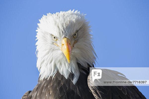 American bald eagle Alaska usa