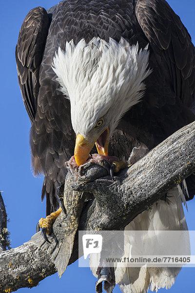 Glatze kahl amerikanisch Lachs essen essend isst Adler