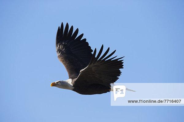 American bald eagle in flight Alaska usa