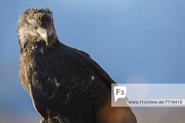 Young american bald eagle Alaska usa