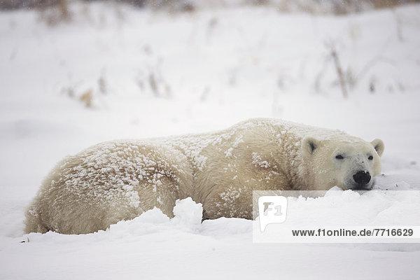 Eisbär  Ursus maritimus  schlafen  Schnee