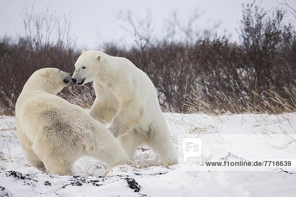 Bär  Wasserrand  Kampf  Spiel  vorwärts  Bucht