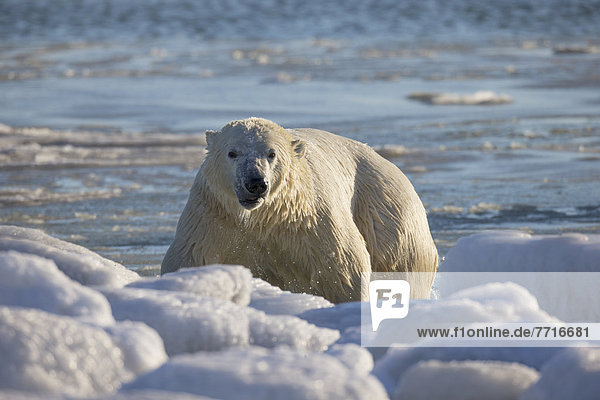 Eisbär  Ursus maritimus  nass  schwimmen  Bucht
