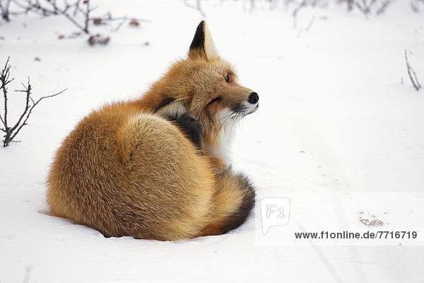liegend  liegen  liegt  liegendes  liegender  liegende  daliegen  rot  Fuchs  kratzen  Schnee