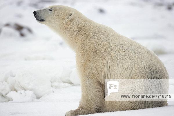 Eisbär  Ursus maritimus  sitzend  Schnee