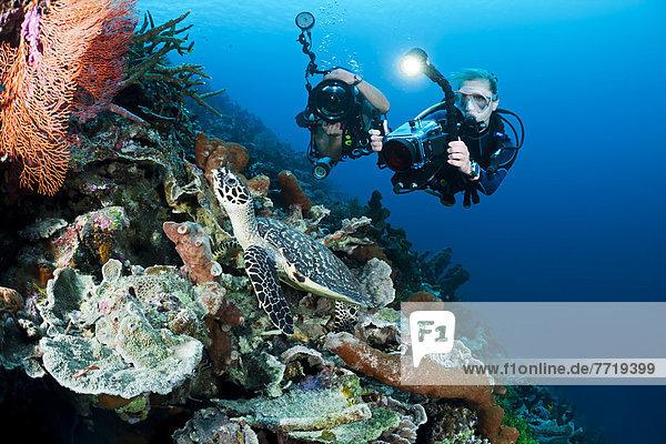 fotografieren Landschildkröte Schildkröte Taucher Echte Karettschildkröte Karettschildkröten Eretmochelys imbricata Indonesien Riff