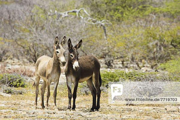 Caribbean  Bonaire  Netherlands Antilles  Wild Donkeys.