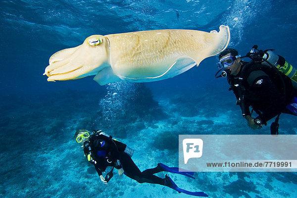 nahe  2  schwimmen  Taucher  Mikronesien  Tintenfisch  Palau