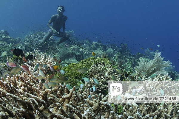 Indonesia  Alor  Native Diver Spearfishing On Lush Coral Reef.
