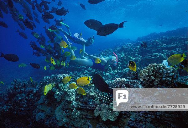 Falterfisch Chaetodontidae Frau gelb über schwarz Schnorchel Hawaii Maui Riff Drückerfisch