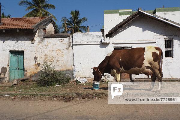 Hausrind Hausrinder Kuh Kuh Indien Karnataka Mysore