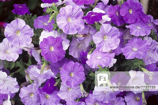 Vielfalt  lila  Pflanze  Schatten  Größe