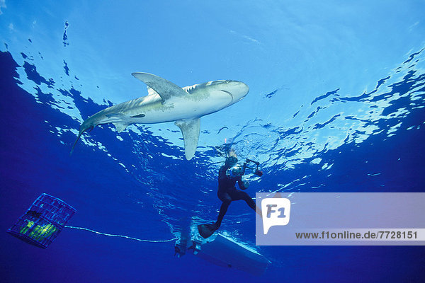 Male Oceanic Whitetip Shark (Carcharhinus Longimanus) With Diver And Bait