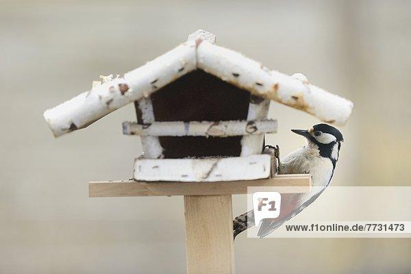Buntspecht (Dendrocopos major) an einem Futterhäuschen