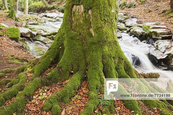 Berg  bedecken  Baum  fließen  Bach  Wurzel  Baumstamm  Stamm  County Wicklow  Irland  Moos