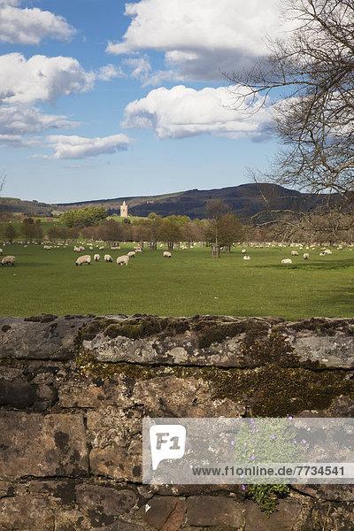 Steinmauer Schaf Ovis aries Hintergrund Feld Fokus auf den Vordergrund Fokus auf dem Vordergrund England grasen Northumberland alt