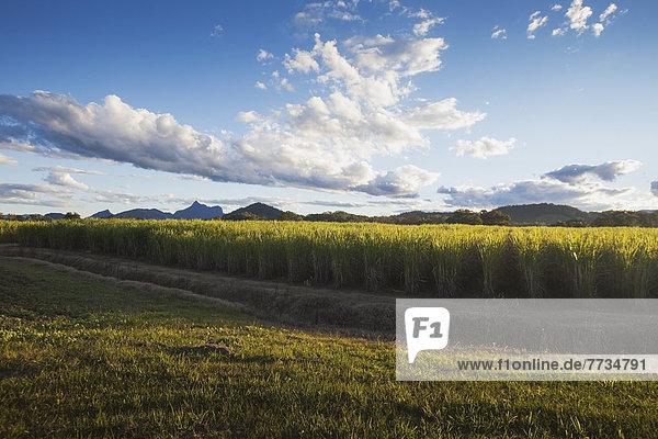 Spazierstock  Stock  Hintergrund  Warnung  Zucker  Berg  Plantage