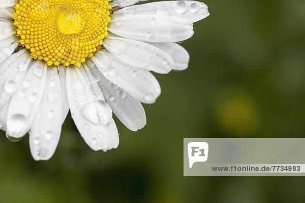 Wasser  Gänseblümchen  Bellis perennis  weiß  heraustropfen  tropfen  undicht