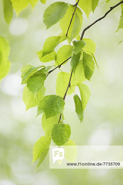 Pflanzenblatt Pflanzenblätter Blatt Ast Gewitter Bucht Kanada Ontario