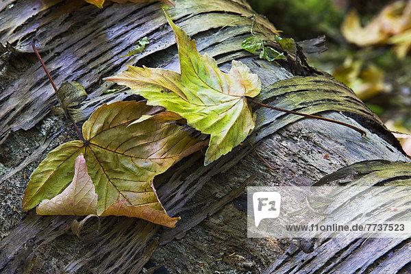 Ahornblatt liegend liegen liegt liegendes liegender liegende daliegen Wald Herbst verfaulen Ahornblatt,liegend,liegen,liegt,liegendes,liegender,liegende,daliegen,Wald,Herbst,verfaulen