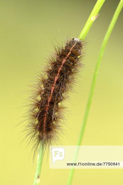Breitflügeliger Fleckleibbär (Spilosoma lubricipeda)  Raupe auf Halm