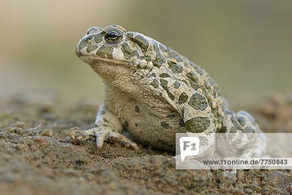 Wechselkröte (Bufo viridis)