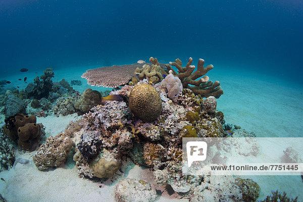 Intaktes Korallenriff im flachen Wasser einer Lagune