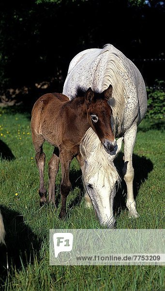 Camargue Horse  Mare with Foal.