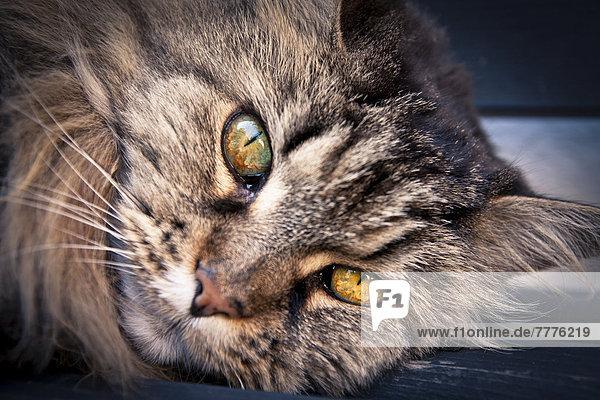 Norwegische Waldkatze  Hauskatze  Portrait