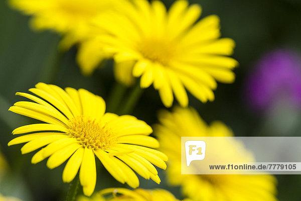 Gämswurz (Doronicum orientale)  Blüten