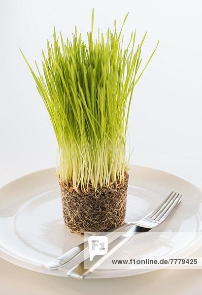 Weizengras  schießen  Studioaufnahme