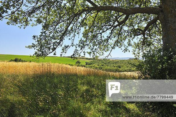 Sommer  Baum  Schatten  Eiche  Italien  Pienza  Toskana  Val d'Orcia