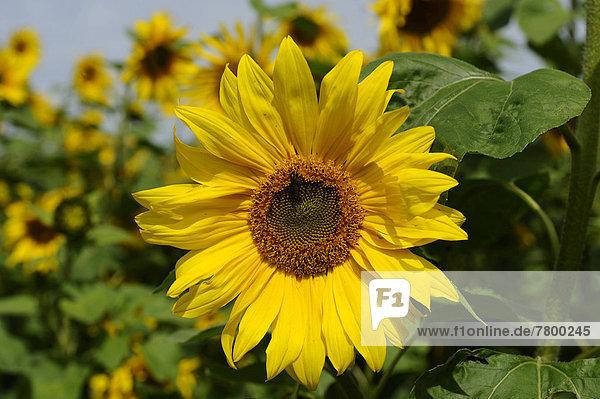 Sonnenblume  helianthus annuus  Blüte  Feld  Bayern  Deutschland