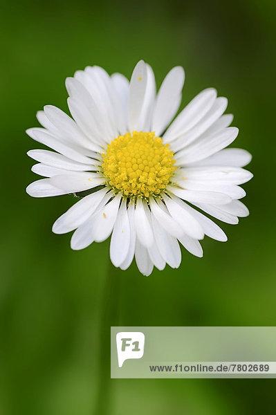 Gänseblümchen oder Tausendschön (Bellis perennis)