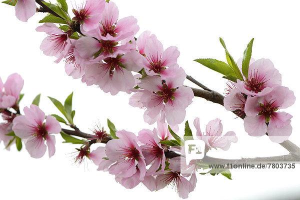 Blüten des Mandelbaums (Prunus dulcis)