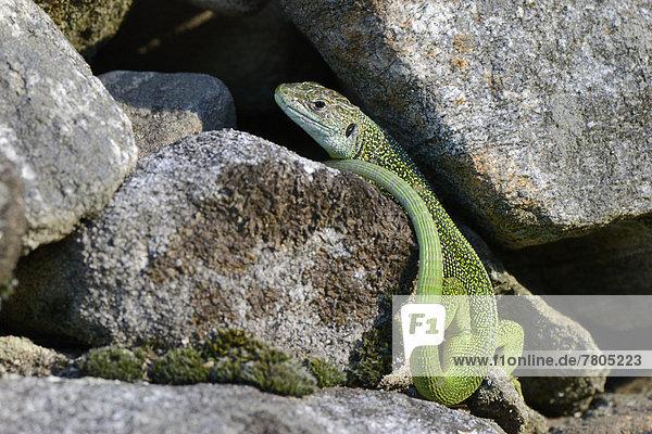 Westliche Smaragdeidechse (lacerta bilineata)  ausgewachsenes Männchen sonnt sich auf einem Felsen