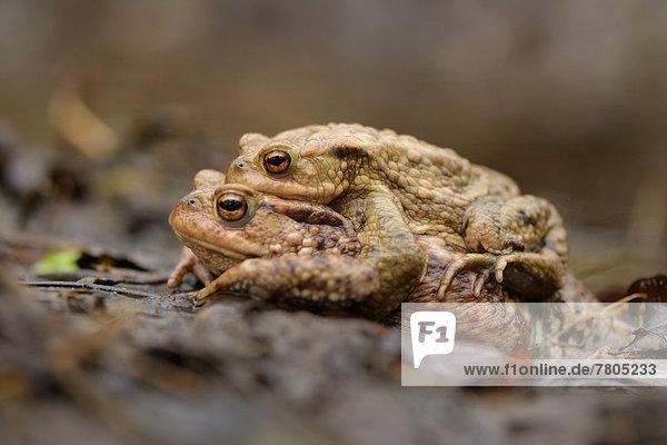 Paar der Erdkröte (Bufo bufo) im Amplexus während der Frühjahrswanderung zum Laichgewässer
