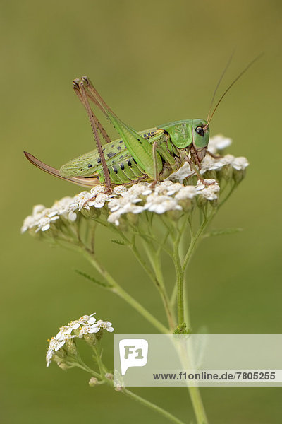 Warzenbeißer (Decticus verrucivorus)  Weibchen sitzt in der Blüte eines Doldenblütlers