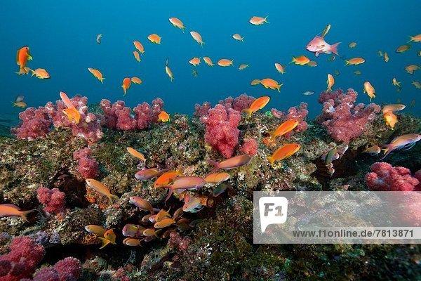 Lyretail Anthias over Coral Reef  Aliwal Shoal  Indian Ocean  South Africa.