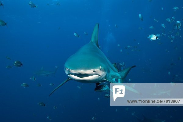Blacktip Shark  Carcharhinus limbatus  Aliwal Shoal  Indian Ocean  South Africa.